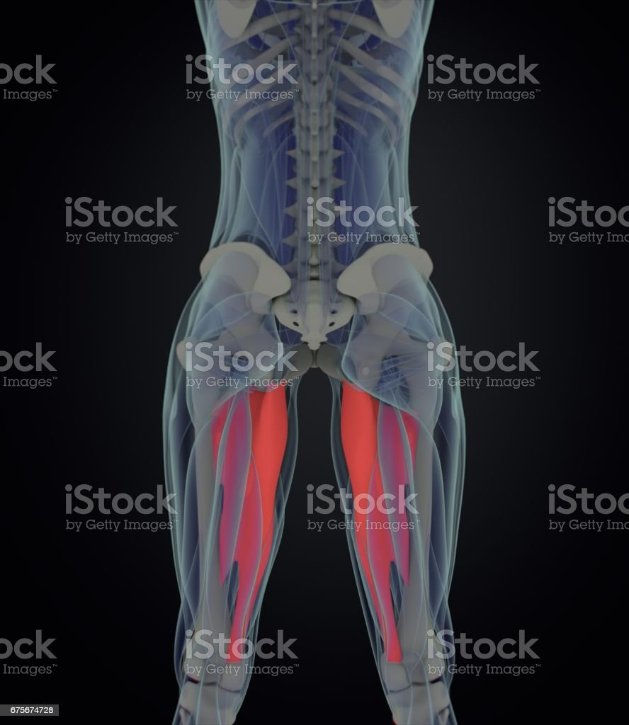 Adductor Magnus Female Muscle Anatomy Leg Muscles 3d Illustration ...
