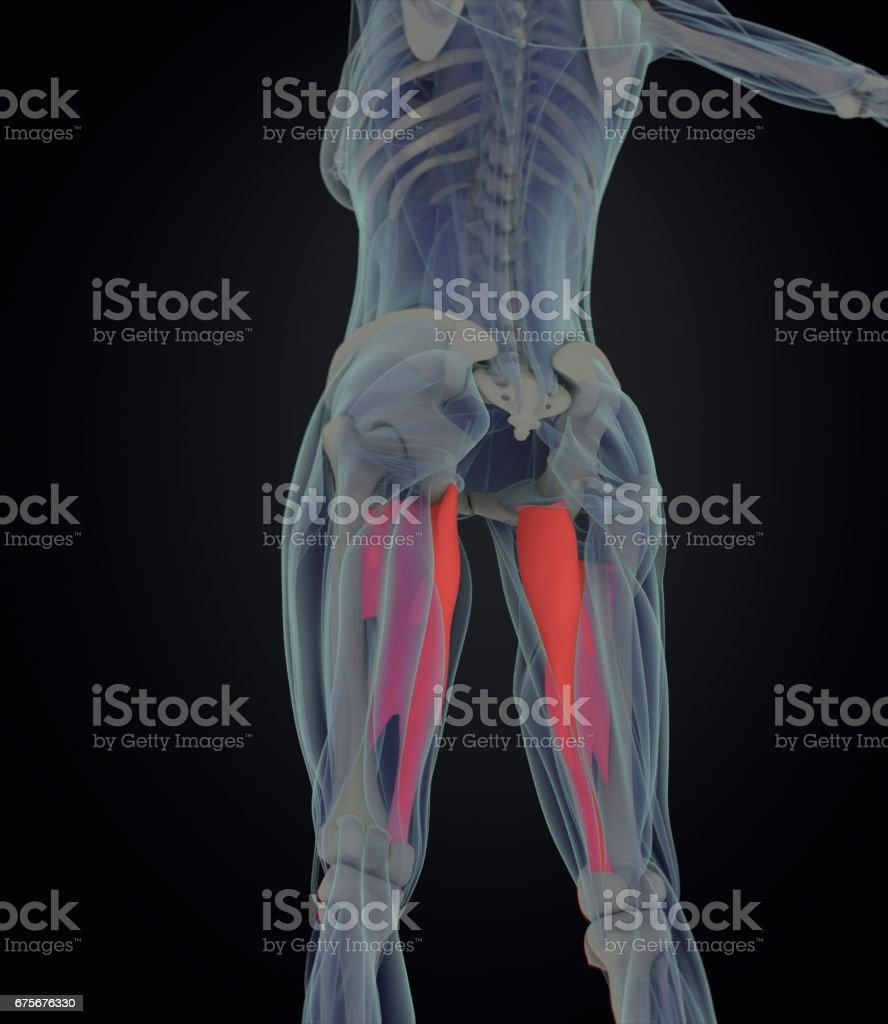 Adductor Magnus Female Muscle Anatomy Leg Muscles 3d Illustration