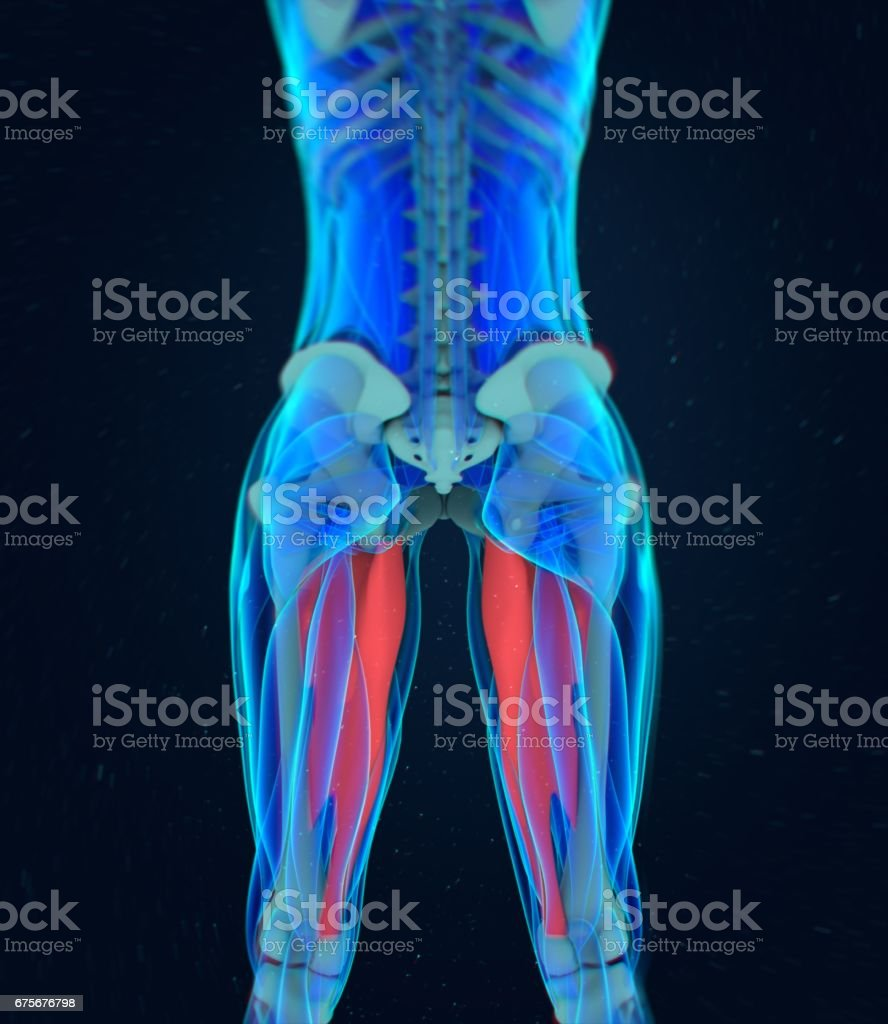 Adductor magnus. Female muscle anatomy. Leg muscles. 3d illustration royalty-free stock photo