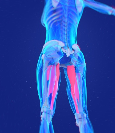 istock Adductor magnus. Female muscle anatomy. Leg muscles. 3d illustration 675676820