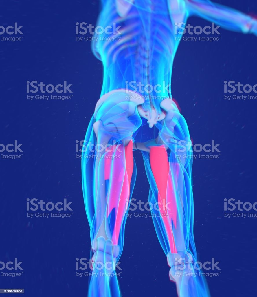 Adductor magnus. Female muscle anatomy. Leg muscles. 3d illustration stock photo