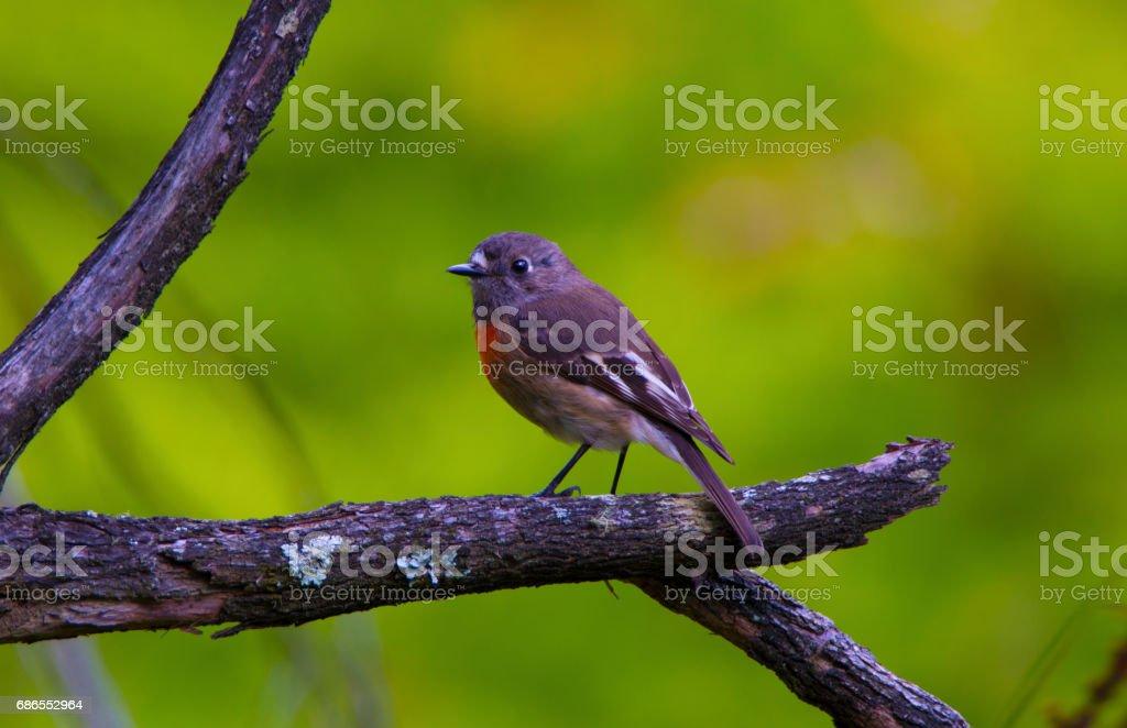 Adelaide_Birds - Scarlet robin photo libre de droits