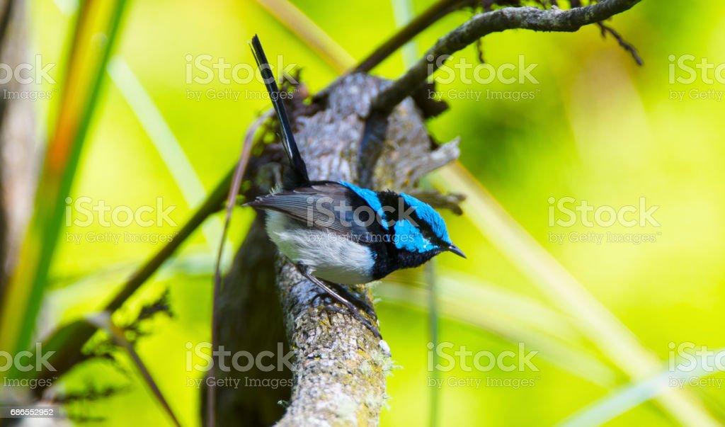 Adelaide_Birds - wren superb foto de stock libre de derechos