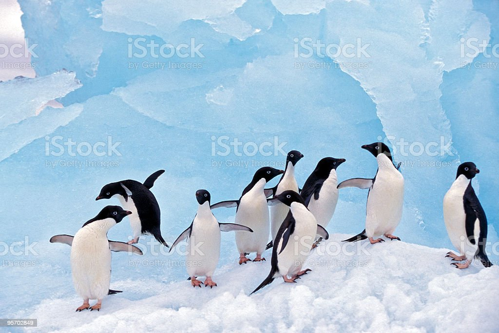 Adele Penguins on Ice stock photo