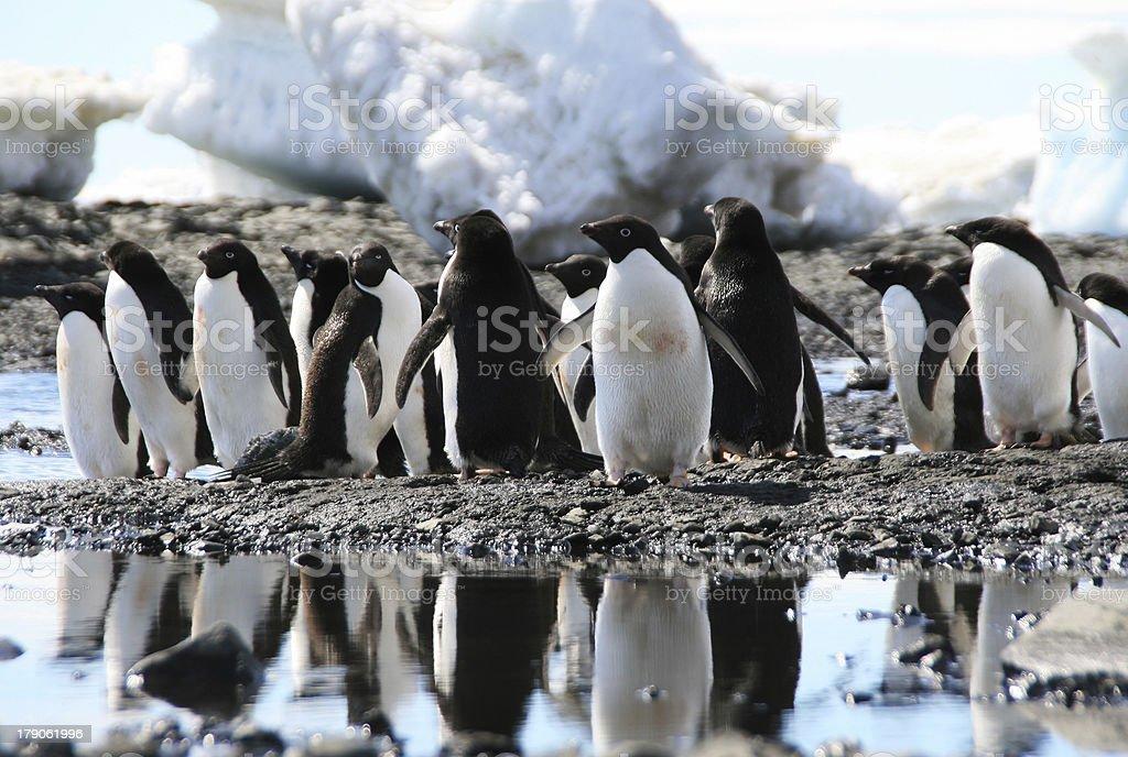 Adele penguins stock photo