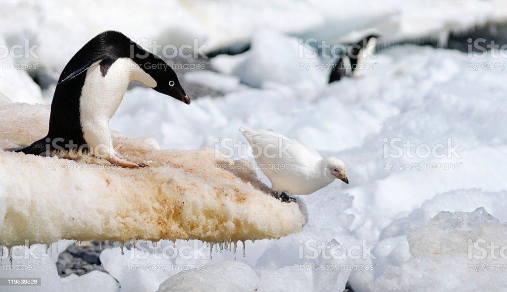 Adelie Penguin and Sheathbill royalty-free stock photo