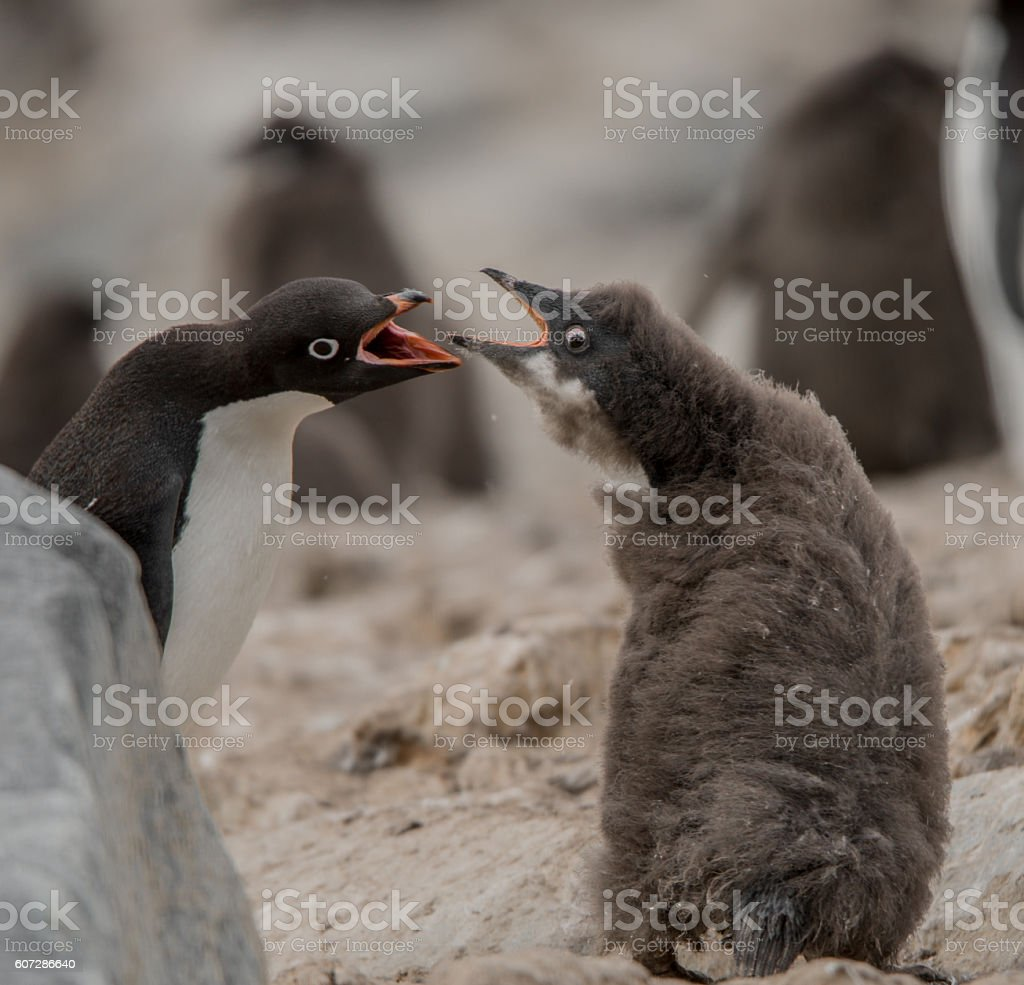 Adelie Penguin Chick and Adult stock photo