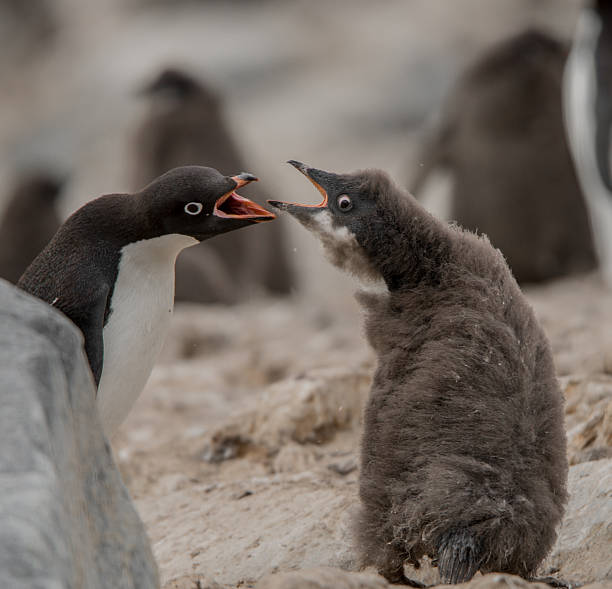 Adelie Penguin Chick and Adult – Foto
