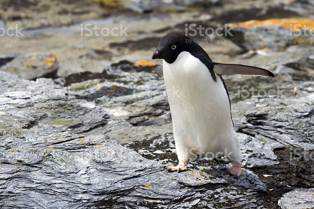 Adelie Penguin in Antarctica stock photo
