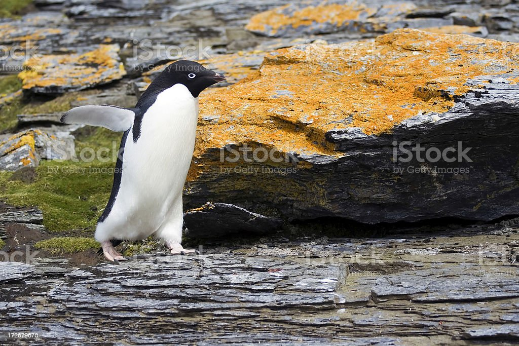 Adelie Penguin in Antarctica royalty-free stock photo