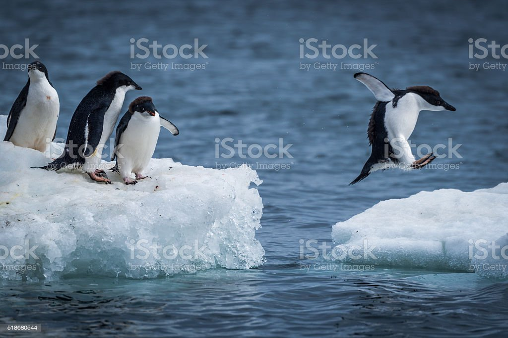 Adelie penguin jumping between two ice floes stock photo