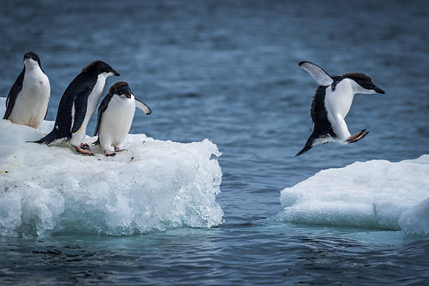 Adelie penguin jumping between two ice floes Adelie penguin jumping between two ice floes ice floe stock pictures, royalty-free photos & images