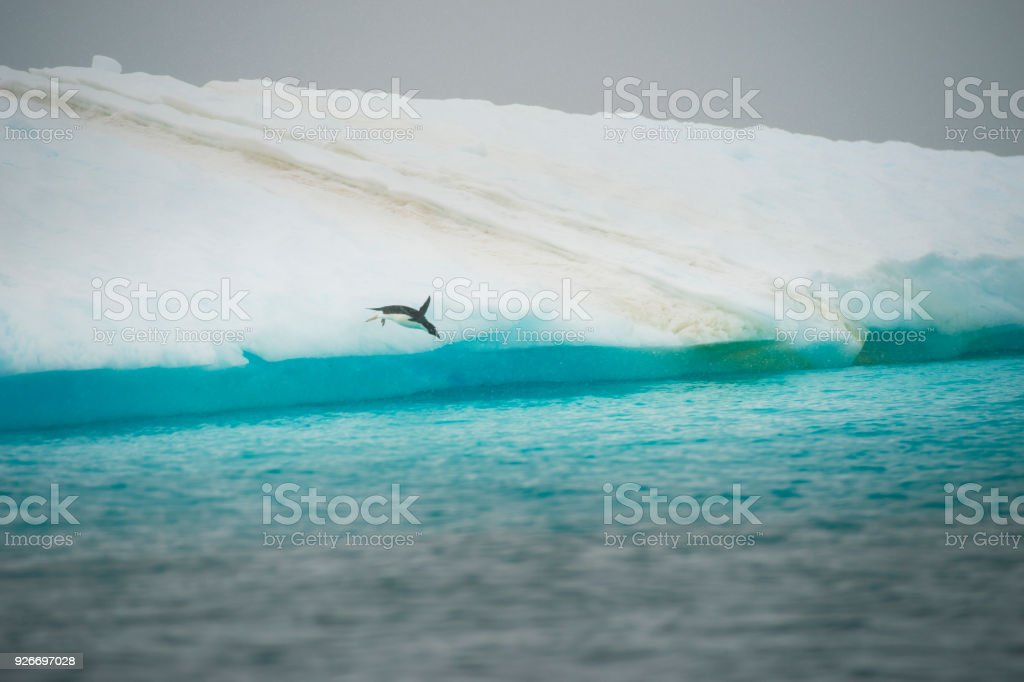 Adelie penguin jumping in water stock photo