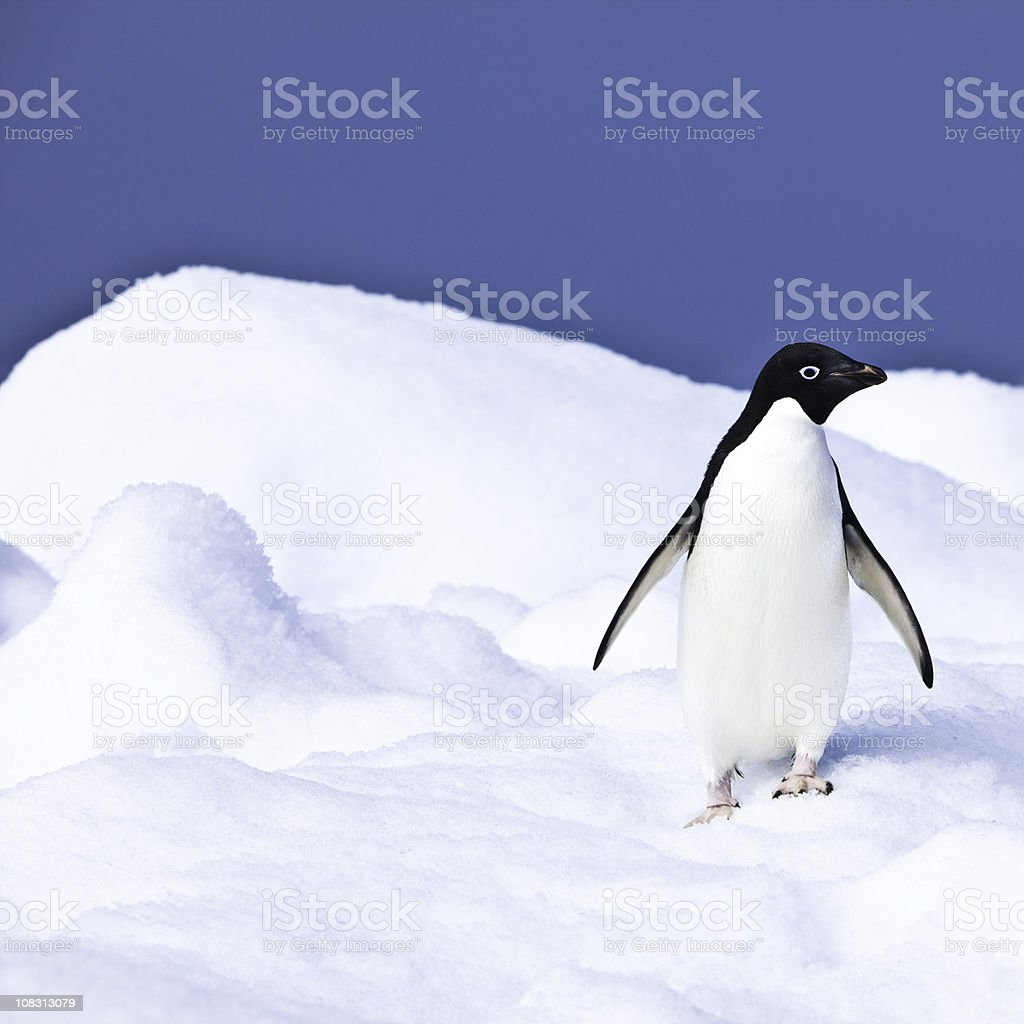 Adelie Penguin on Iceberg Paulet Island Antarctica stock photo