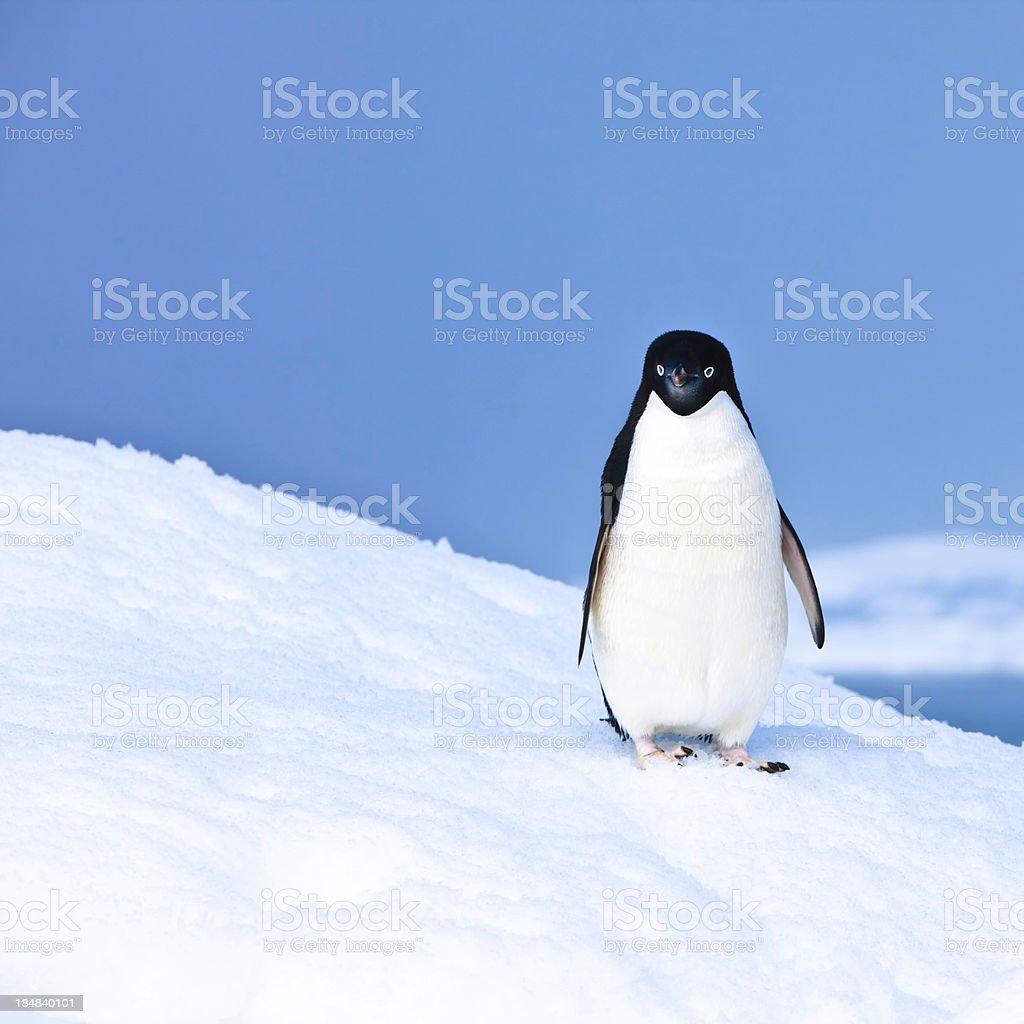 Adelie Penguin on Iceberg Paulet Island Antarctica stock photo