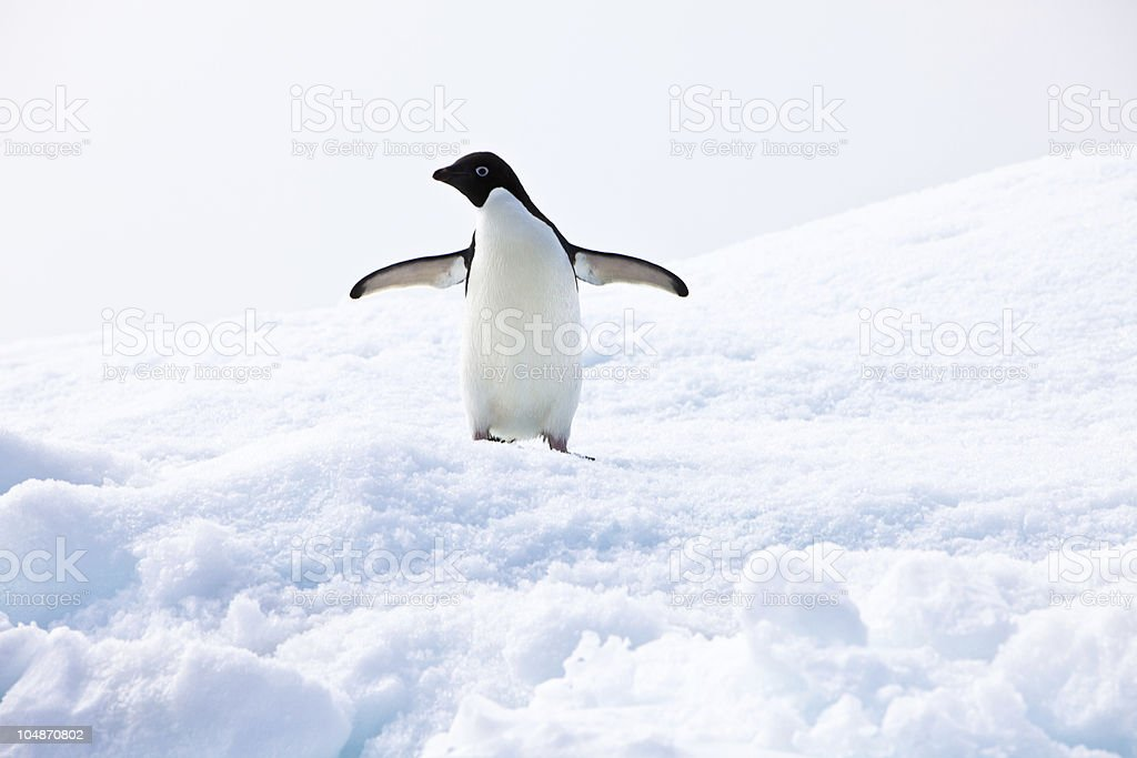 Adelie Penguin, Paulet Island Antarctica stock photo