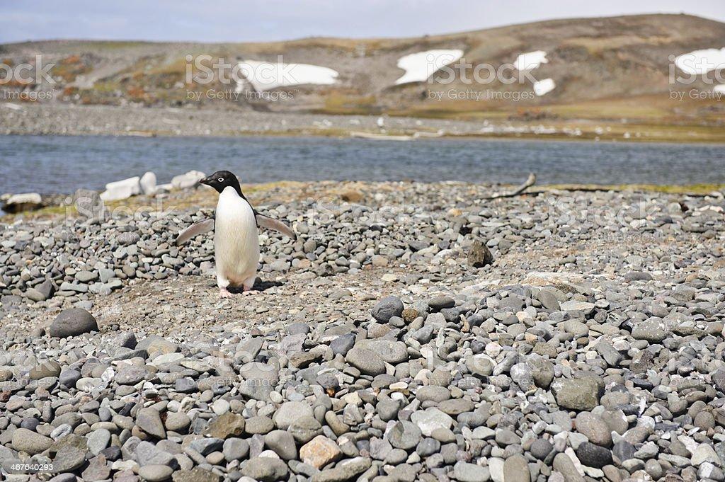 Adelie Penguin royalty-free stock photo