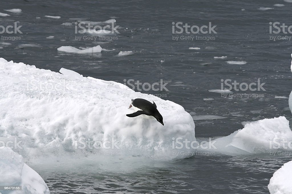 Adelie penguin (Pygoscelis adeliae) royalty-free stock photo