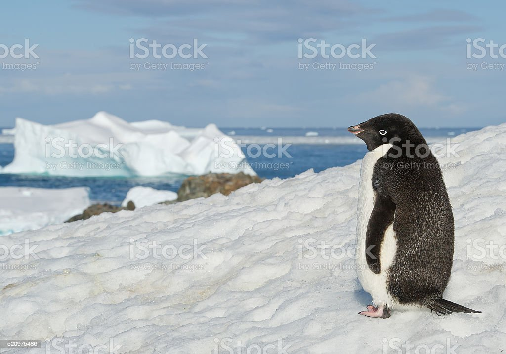 Adelie penguin standing on snowy hill stock photo