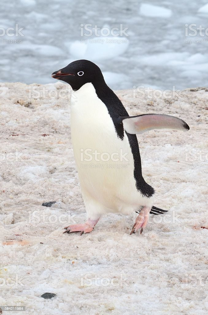Adelie Penguin Walks stock photo