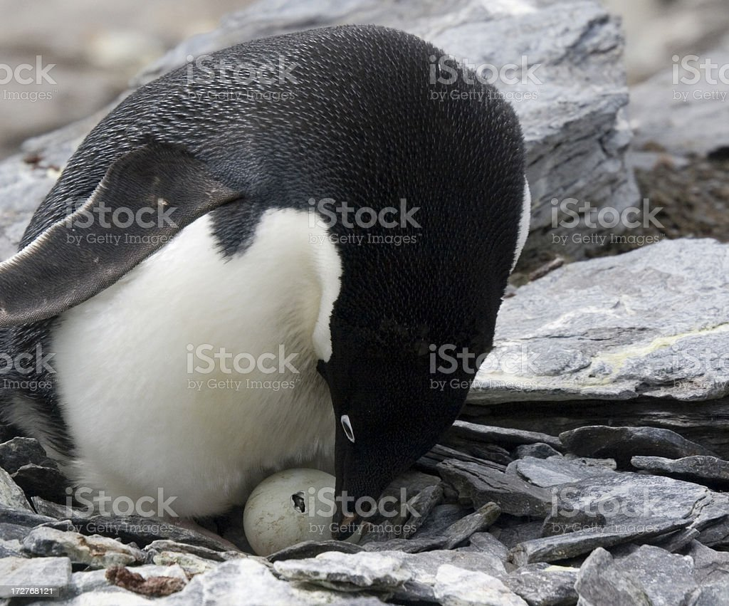 Adelie Penguin Watches as Chick Breaks out of Shell stock photo