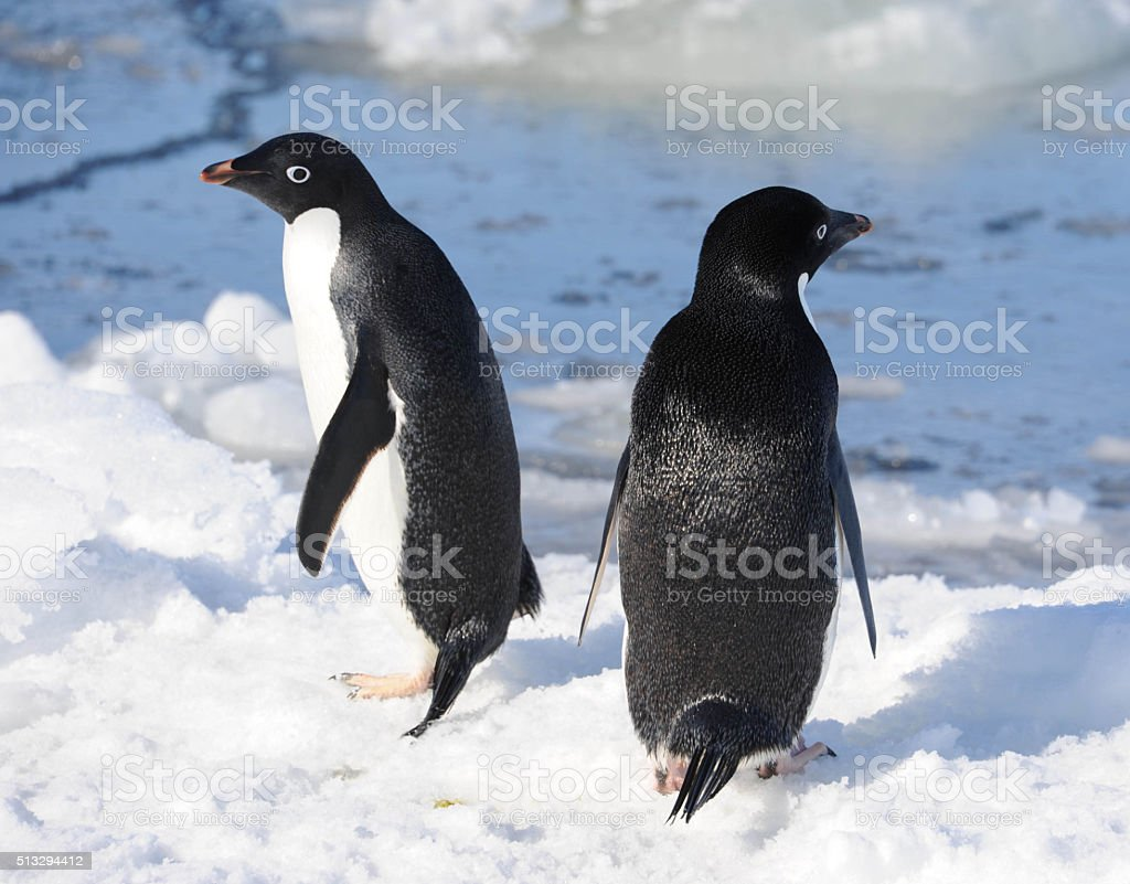 Adelie penguins and open water stock photo