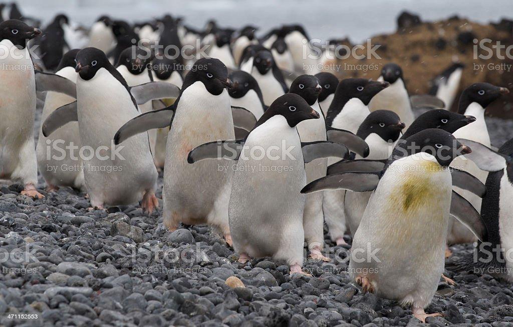 Adelie Penguins at Brown Bluff, Antarctica stock photo