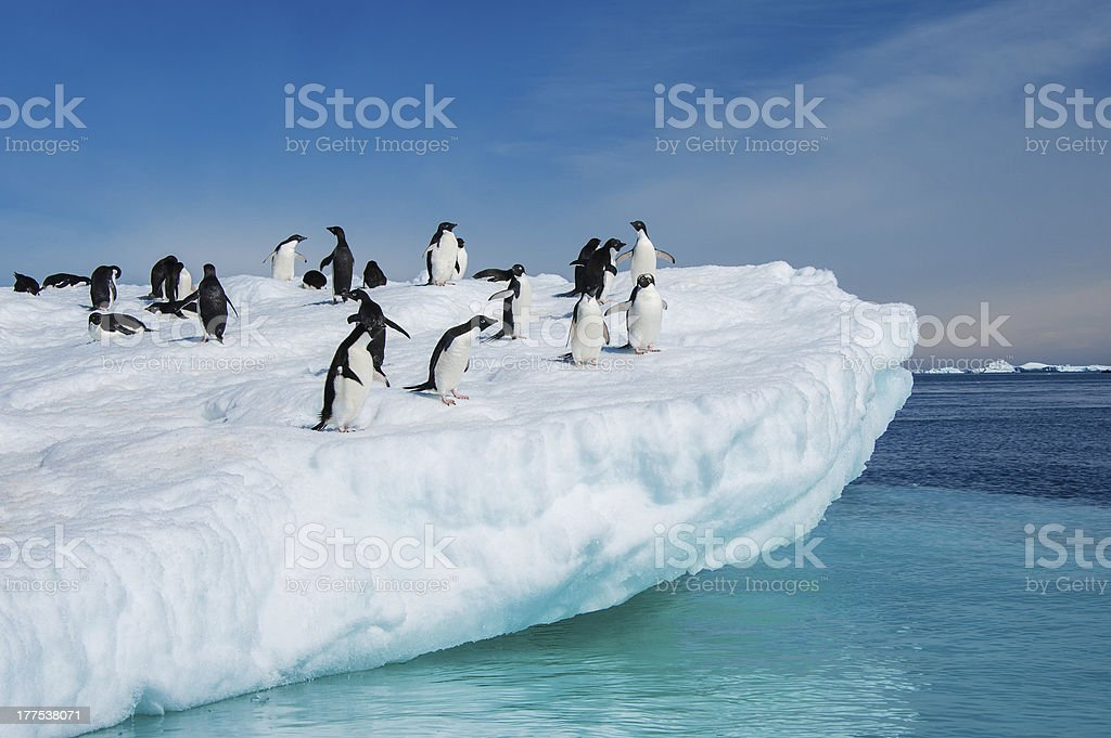Adelie penguins jumping from iceberg stock photo