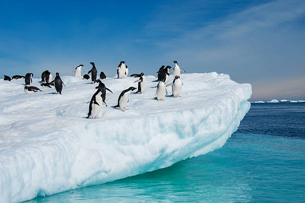 Adelie penguins jumping from iceberg Penguins colony in Antarctic waters ice floe stock pictures, royalty-free photos & images