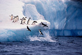 A group of Adelie Penguins jumps off a blue iceberg into the water off Paulette Island in Antarctica.