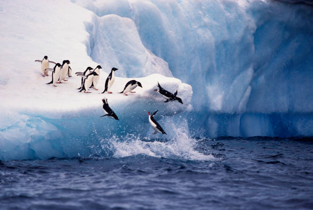 Adelie Penguins Jumping from Iceberg stock photo