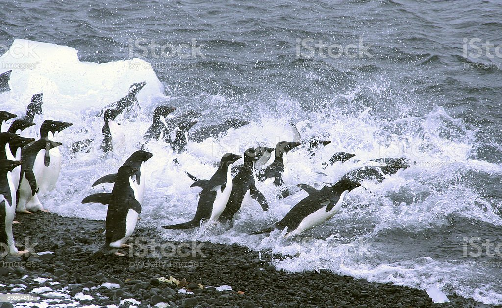 Adelie penguins, jumping into the ocean royalty free stockfoto