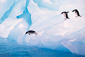 Gentoo penguin chick running on a coastal area in summer, Falkland islands. Penguin colony.