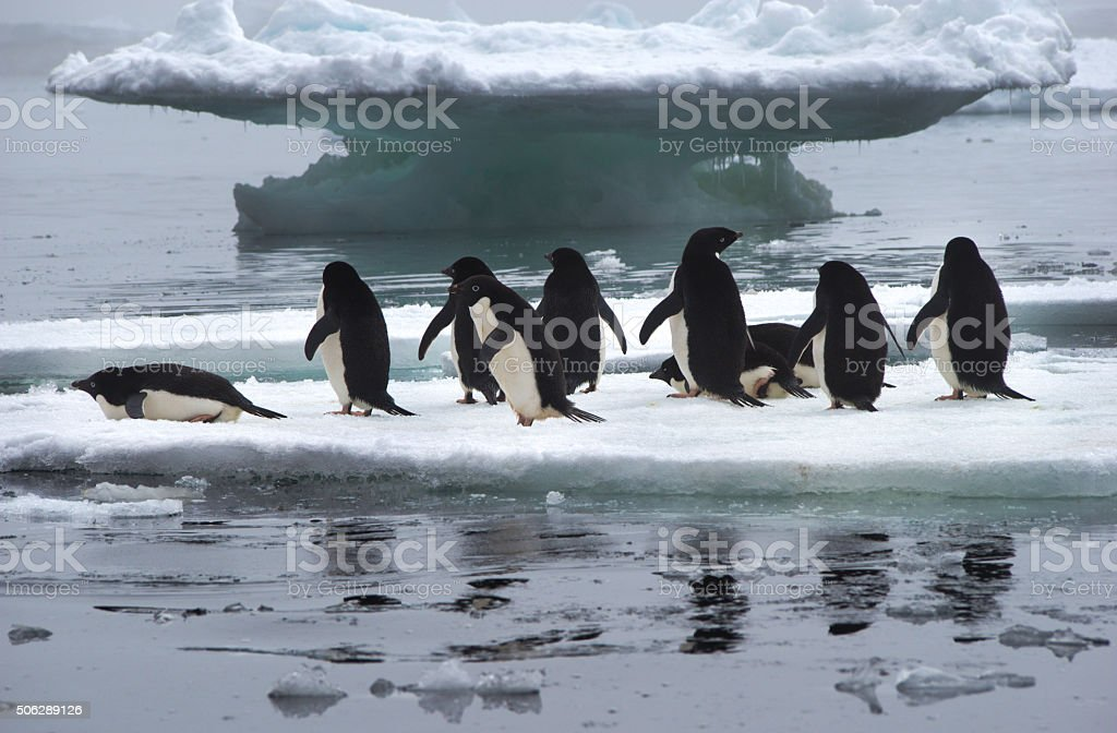 Adelie Penguins on Ice Floe in Antarctica stock photo