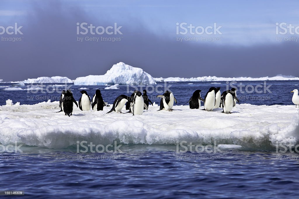 Adelie Penguins on Iceberg Paulet Island Antarctica stock photo