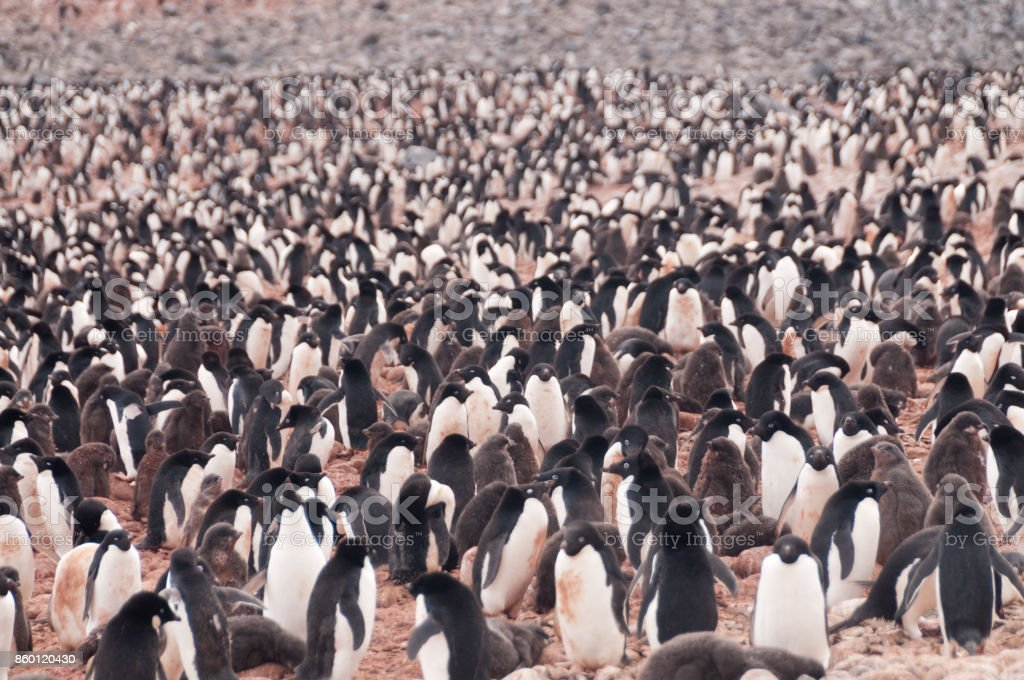 Adelie Penguins on Paulet Island stock photo