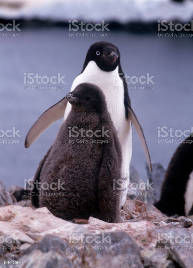 Adelie penguins. stock photo