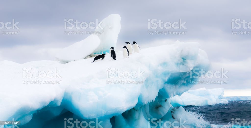 Adelie penguins sitting on an iceberg in Antarctica. stock photo