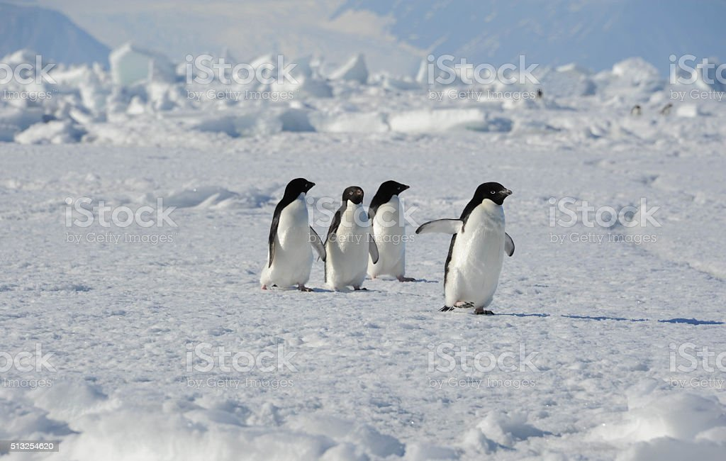 Adelie Penguins walking stock photo