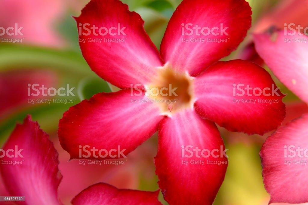 Adenium Desert Flowers in Festival city, Dubai, United Arab Emirates stock photo