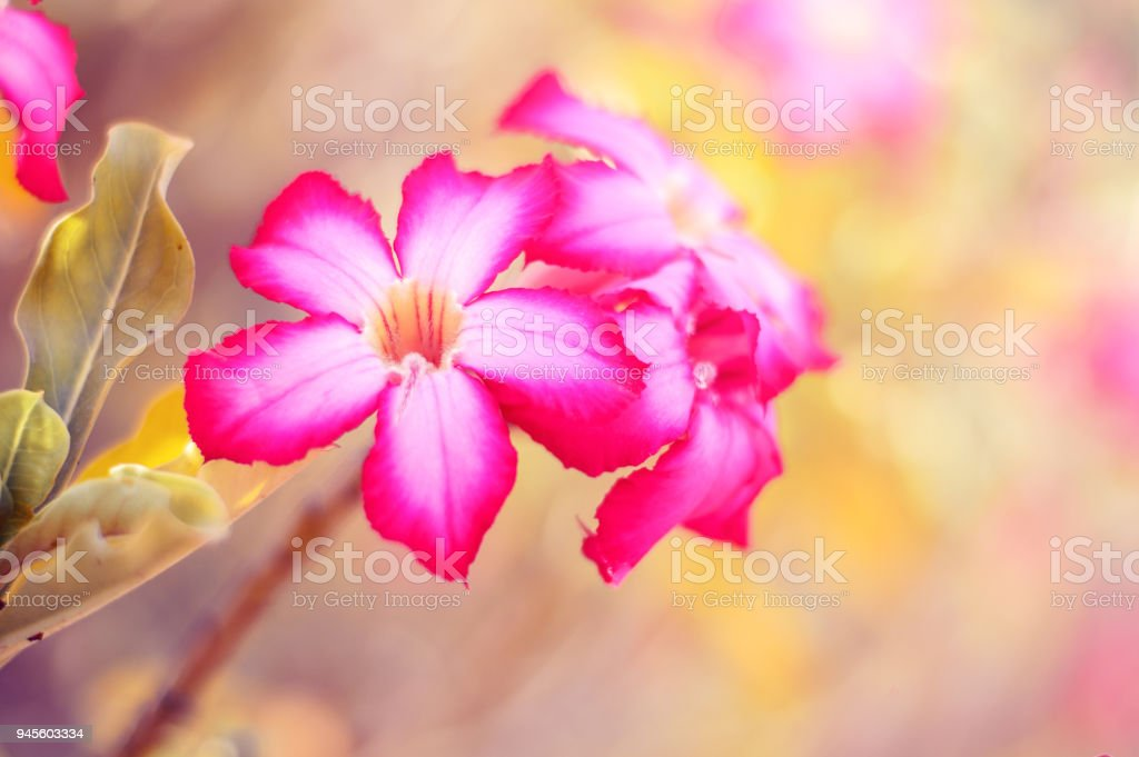 Adenium flower also called as desert rose background with beautiful adenium flower also called as desert rose background with beautiful exotic flowers of brightd pink mightylinksfo