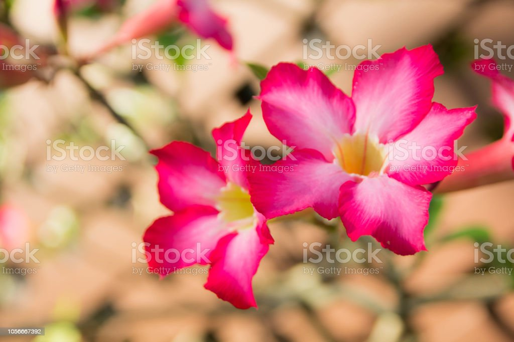 Adenium obesum Desert General characteristics. Small plum. The leaf surface is smooth green. Flowers at the end of the flower trumpet flower petals with 5 petals pink petals base with petals stock photo