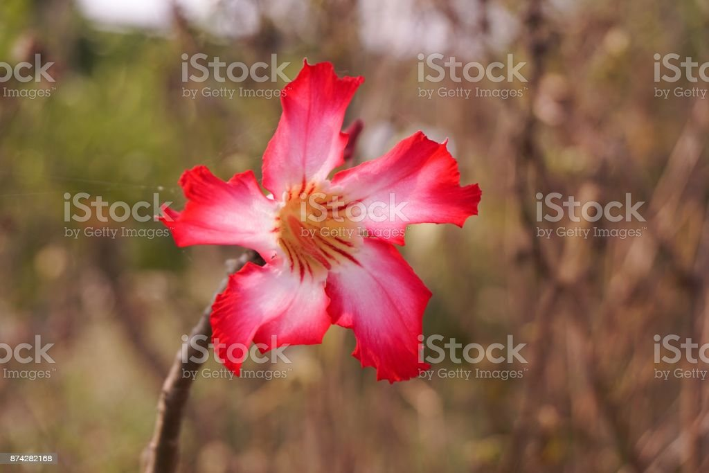 Adenium obesum flower in nature garden stock photo