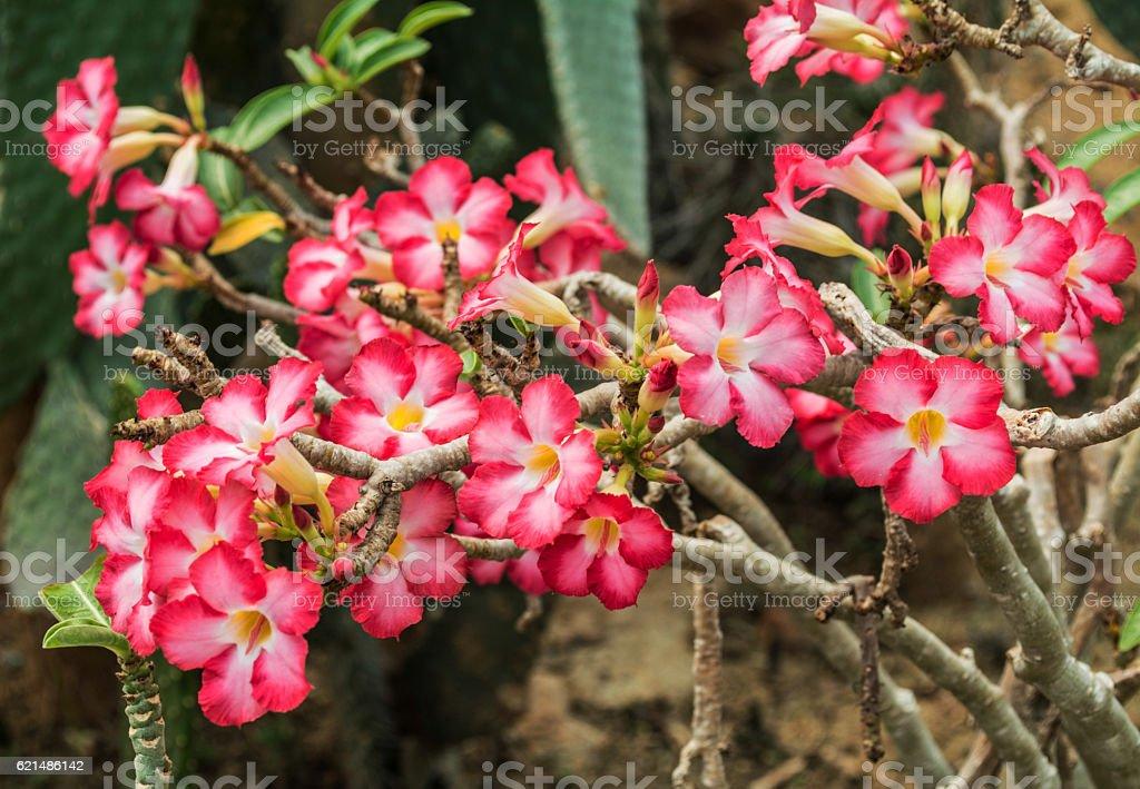 Adenium obesum, Rosa deserto Rosa fiorente in Tailandia  foto stock royalty-free