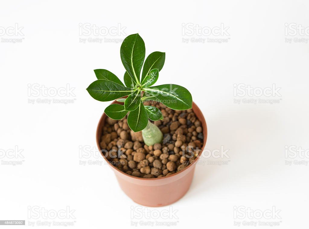 Adenium Plant In Vivid Pot On White Background With Shadow Stock