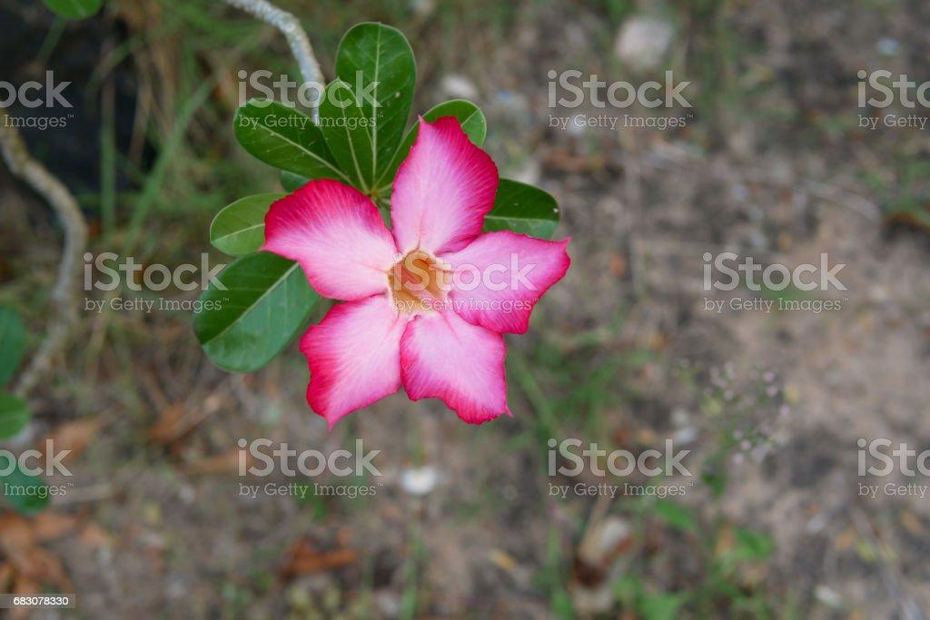 Adenium, the beautiful pink flower foto de stock royalty-free