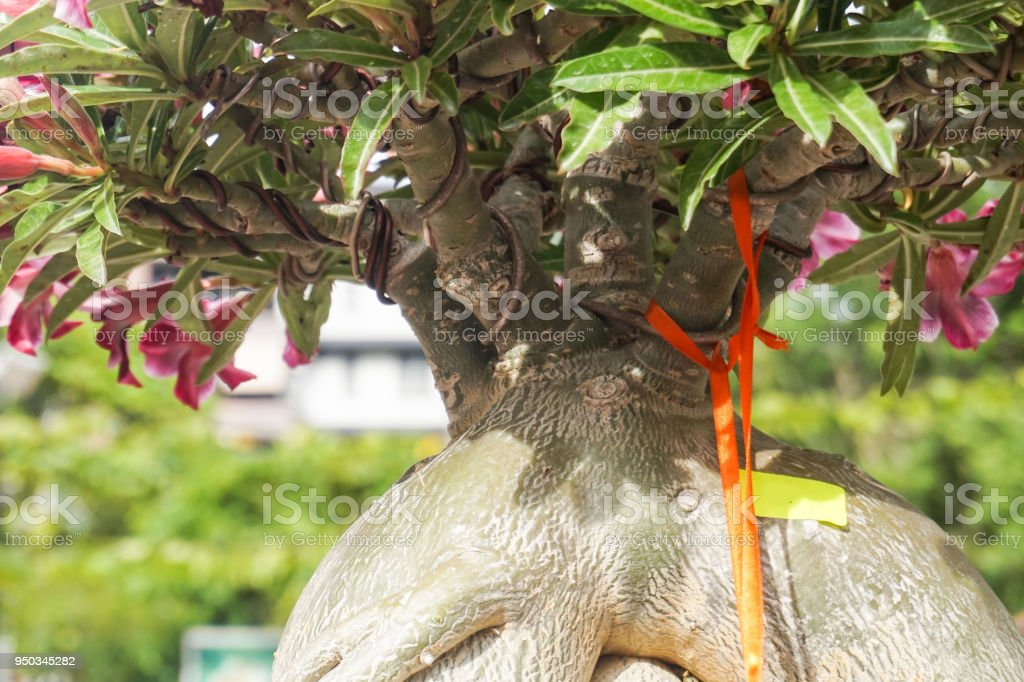 Adenium tree close up with for decoration stock photo