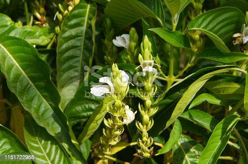 adhatoda vasica or justicia adhatoda plant