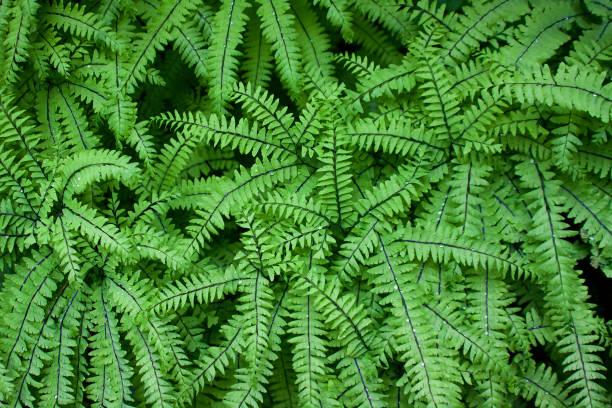 Adiantum aleuticum  or Maidenhair Fern in a pacific northwest forest stock photo