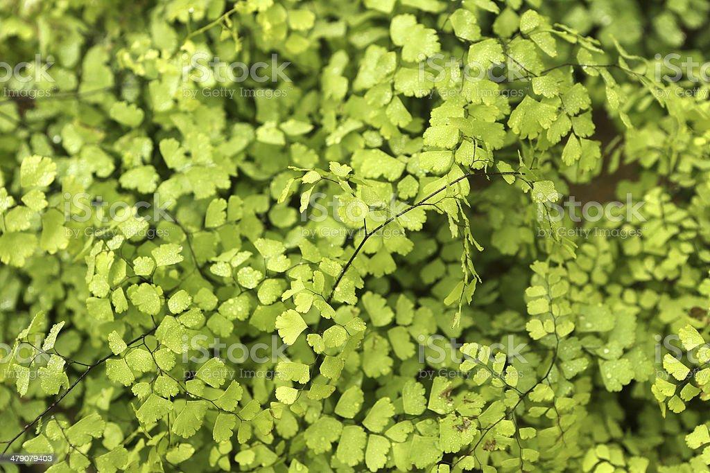 Adiantum capillus-veneris Linn royalty-free stock photo